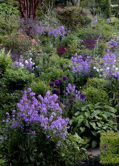 Wonderful blue border! Sweet Rocket, The Dillon Garden, near Dublin, uncredited
