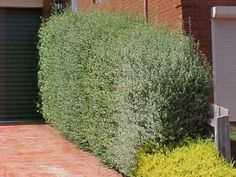 Pittosporum Silver Stirling for across back and maybe side fence? Privacy Landscaping, Front Yard Landscaping, Landscaping Ideas, Pittosporum Silver Sheen, Landscape Design, Garden Design, Landscape Architecture, Outside Fall Decorations, Silver Plant