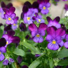 9 Colorful Flowers That Grow in Shade: Viola