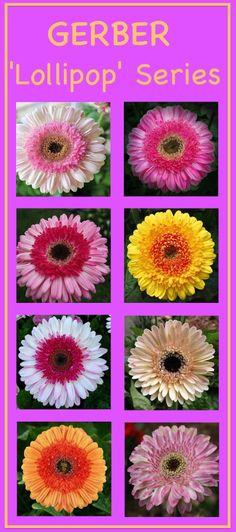 Gerber Daisy 'Lollipop' series (Gerbera jamesonii) ……………… (Clockwise from Top Left): 'Lollipop Strawberry' (new bloom), 'Lollipop Strawberry' (older bloom), 'Lollipop Pineapple', 'Lollipop Coconut' (new bloom), 'Lollipop Coconut' (older bloom), 'Lollipop Mango', 'Lollipop Watermelon' (new bloom), 'Lollipop Watermelon' (older bloom)