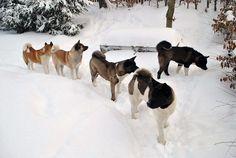 American Akita im Winter (Akita Club e.V. - Verein für den Akita & den American Akita) Akita Dog, Japanese Akita, Bear Attack, American Akita, Dark Places, Weimaraner, Shiba Inu, Best Dogs, My Best Friend