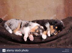 longhaired-collie-puppies-ERHJAC.jpg (1300×955)