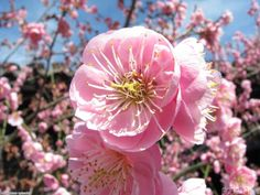 plum blossoms | plum blossom uploader anonymous licence category nature tags plum ...