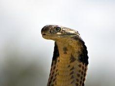Una cobra