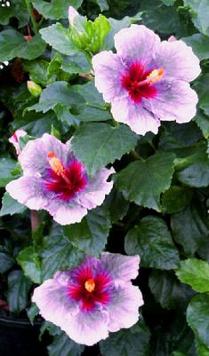 Hibiscus 'Magic Carpet Ride'