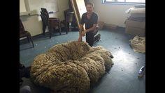 Australia: Esquilan más de 40 kilos de lana a la oveja gigante 'Chris' [Fotos y video]