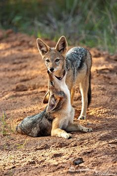 Jackal Puppies Playing