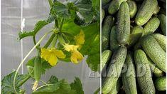 Vertikální pěstování okurek | Prima nápady Korn, Pickles, Cucumber, Zucchini, Vegetables, Pickle, Vegetable Recipes, Pickling, Squashes