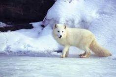 Imagini pentru arctic fox