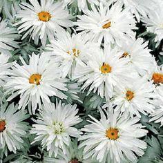 Shasta Daisy / Crazy Daisy Flower Seeds / Leucanthemum/Perennial 50+
