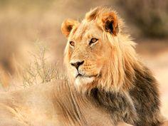 lion-little-debbie-2600w