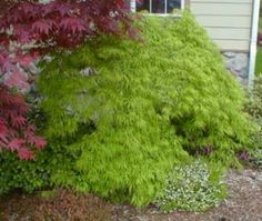 """Acer palmatum Dissectum """"Viridis"""". A laceleaf weeping green Japanese maple. Similar to """"Waterfall"""". 10-15' tall x10-15' wide. ( 6' tall x 10-12' @ 10 years.) Weeps to the ground, but can be pruned up, be careful of limiting the growth though. http://japanesemaplesandevergreens.com/store/product/acer-palmatum-dissectum-viridis-4-year-graft (I've heard it can be more yellow in fall than the possibly orange """"waterfall"""".)"""