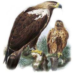 Aigle ibérique - Aquila adalberti