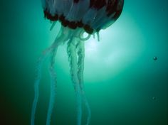 Jellyfish Photos -- National Geographic
