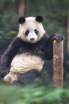 500px / portrait of a panda by David Hobcote