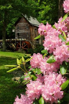Rhododendron's in bloom at Babcock State Park. #GoToWV
