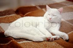 Stock image of 'Pure white cat sleeping on bedding'