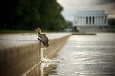Mallard Duckling jumping out of the Reflecting Pool in the shadow of The Lincoln Memorial