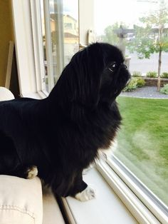 This looks just like my boy Gizzie ❤️ Miss him so much! Yorkies, Pekingese Puppies, Dogs And Puppies, Animals And Pets, Baby Animals, Funny Animals, Cute Animals, Pet Future, I Love Dogs