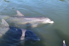 See dolphins in Hilton Head!