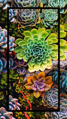24 Super Ideas For Succulent Wallpaper Iphone Phone Wallpapers Colorful Succulents, Cacti And Succulents, Planting Succulents, Cacti Garden, Propagating Succulents, Succulents Wallpaper, Succulents Drawing, Flower Phone Wallpaper, Wallpaper Iphone Disney