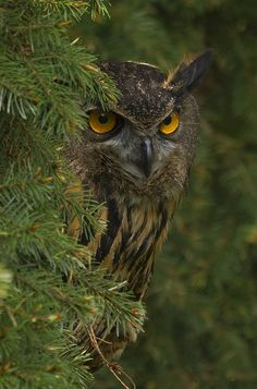 Crafty Eagle Owl -