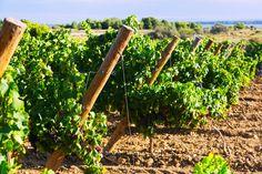 AGOSTO: Calendario Trabajos Viñedo por Mes. Vineyard, Wine, Fruit, Plants, Outdoor, Yearly Calendar, Agriculture, Water, Photos