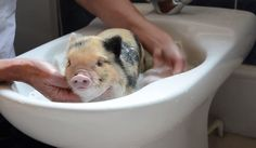 Start the New Year Watching a Baby Pig Get a Bath [Video] http://www.organicauthority.com/start-the-new-year-watching-a-baby-pig-get-a-bath-video/