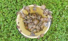 Como eliminar babosas y caracoles del jardin 2