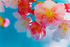 The website of Mika Ninagawa. Johannes Itten, Flower Iphone Wallpaper, Elementary Art Rooms, Spring Blossom, Flowering Trees, Flowers Nature, Photo Colour, Flower Making, Wedding Invitations