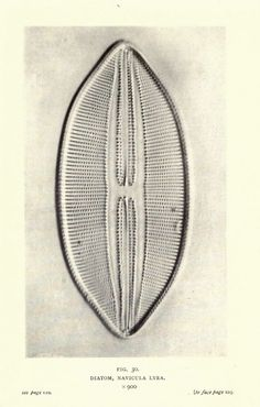 Diatom, Navicula Lyra, Magnified x900 - Nature Through Microscope and Camera, Arthur E. Smith, 1909