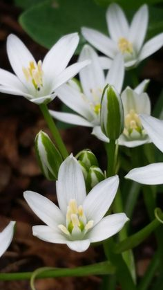 Star of Bethlehem is an early spring bloomer, often appearing in lawns across the midwest. Bach Flowers, Wedding Flowers, Garden Seeds, Garden Plants, Picking Wild Flowers, Florida Native Plants, Prayer Garden, Star Of Bethlehem, Star Flower
