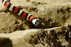 Lampropeltis zonata; California Mountain Kingsnake