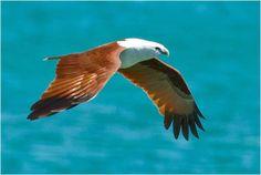 El fascinante milano bramánico (Haliastur indus) | La Reserva