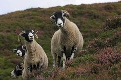 Image result for swaledale sheep in the snow