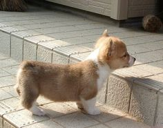 one small step for you, one large step for a corgi puppy Z