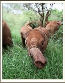 Baby elephant from the David Sheldrick Wildlife Trust.