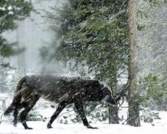 """""""The Lone Wolf ~ Caught in A Snow Blizzard."""""""