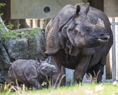 First Indian Rhino Calf of 2015 at Hellabrunn Zoo...