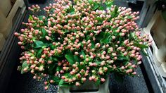 #Hypericum #Coco Casino; Available at www.barendsen.nl