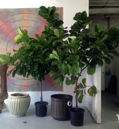 Leaf Fig Care - Growing Guide, How To Pot Plants Learn how to care for a fiddle leaf fig. shows you how to keep a fiddle leaf fig in your home.Learn how to care for a fiddle leaf fig. shows you how to keep a fiddle leaf fig in your home. Fig Plant Indoor, Indoor Trees, Outdoor Plants, Indoor Garden, Potted Plants, Foliage Plants, Fiddle Leaf Fig Tree, Fiddle Fig, Bonsai