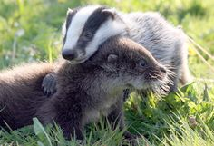 Otter and a badger! So cute!