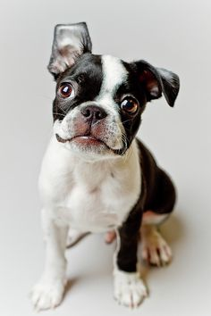 Boston Terrier Dog Puppy by Square Dog Photography #Bostonterriers #Dogs