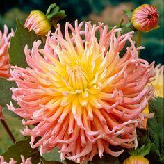Dahlia Tubers - Star Elite - Flower Bulbs - Gardening - Suttons Seeds and Plants