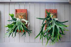 How To: Turn Your House Into a Staghorn Fern Party Mounting staghorn ferns (Platycerium) Platycerium Bifurcatum, Pencil Cactus, Ferns Garden, Garden Farm, Epiphyte, Staghorn Fern, Snake Plant, Diy Garden Decor, Growing Plants