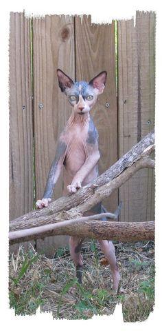 Sphynx kittens for sale, NADA Sphynx and Devon Rex, Rescue, Kittens,