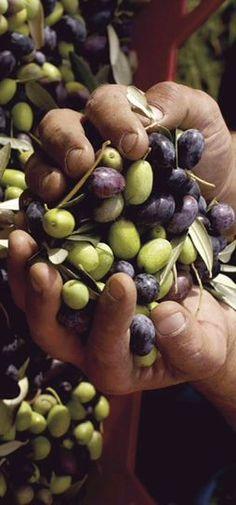 Greek Recipes, Italian Recipes, Olives, Olive Harvest, Under The Tuscan Sun, Olive Gardens, Olive Tree, Fruits And Vegetables, Olive Oil