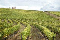 Italy Photography, Tuscany Print, Chianti, Autumn Season Photo, Vineyards Image, Grape Harvest, Travel, Italy Decor di Molo7Photography su Etsy