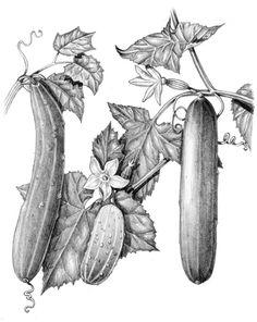 Lizzie Harper pencil illustration of cucmbers