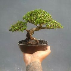 Tree: Pemphis Acidula. Picture of Oyong Chopper Psyco's Facebook. Jade Plant Bonsai, Bonsai Ficus, Bonsai Garden, Indoor Bonsai, Jade Plants, Bonsai Art, Bonsai Plants, Indoor Plants, Bonsai Trees